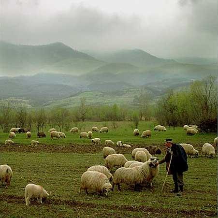 sheep (1)